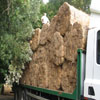 Thatching reed arriving on site